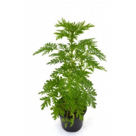 Artemisa - Pamies Vitae - Planta viva