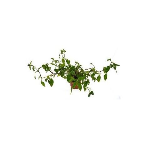 Consuelda menor - Pamies Vitae - planta viva