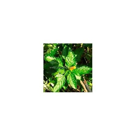 Damiana - Pamies Vitae - planta viva